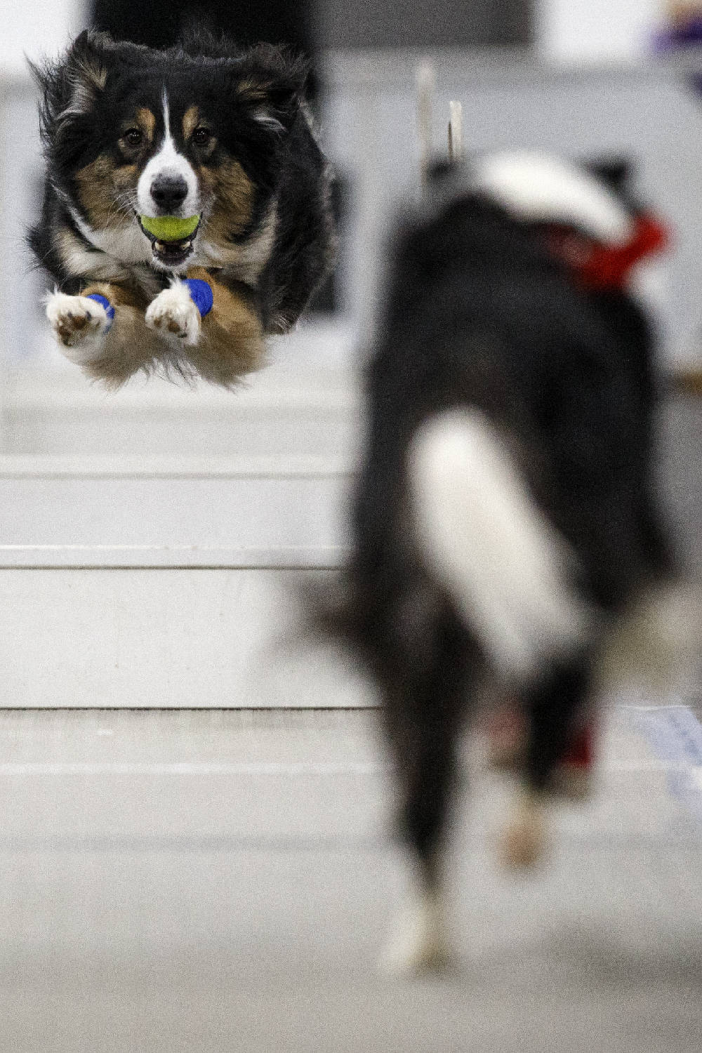 Photos Flyball Tournament Raises Funds For Humane