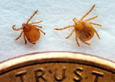 Invasive tick found on animals in two Tennessee counties