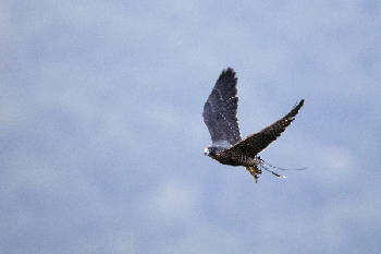 Photos: Peregrine falcons released at Rock City | Times Free