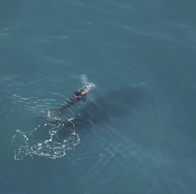 First Newborn Right Whale Of Calving Season Seen Off