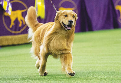 Golden Retriever Snubbed At Westminster