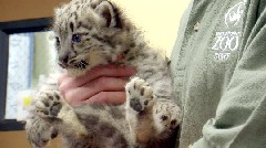 Chattanooga Zoo debuts two snow leopard cubs